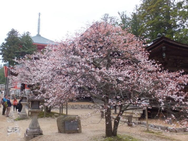 高野山・壇上伽藍「西行桜(さいぎょうさくら)」